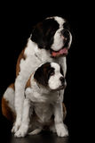 Two Saint Bernard Dog, Puppy and her Mom on Isolated Black Background. Two Saint Bernard Dog, Puppy and her Mom Sitting on Isolated Black Background, Front view Royalty Free Stock Image