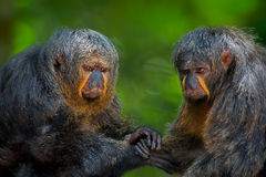 Two Saki Monkeys Royalty Free Stock Photos