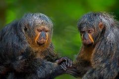 Two Saki Monkeys Royalty Free Stock Photos