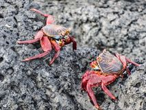 Two sally lightfoot crabs on galapagos islands ecuador royalty free stock photography