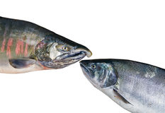 Two salmons 1 Royalty Free Stock Image