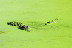 Two Saltwater Crocodiles swimming in a Lake, Australia Stock Images