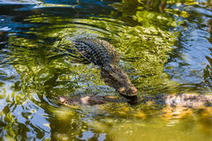 Two saltwater crocodiles in water Royalty Free Stock Image