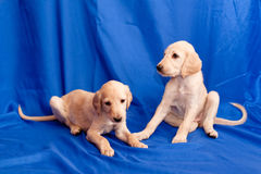 Two saluki pups Royalty Free Stock Image