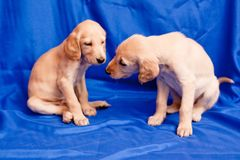 Two saluki pups Stock Photos