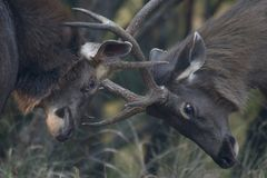 Two sambar deer fighting. In the forest Royalty Free Stock Photo