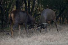 Two sambar deer fighting Stock Images