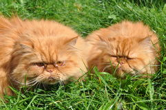 Two of the same red cat Stock Photo