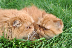 Two of the same red cat. Two  of the same red cat lying in the green grass and stare at each other Stock Image