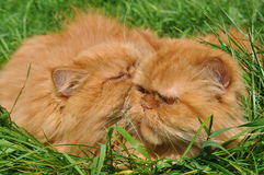 Two of the same red cat royalty free stock images