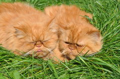 Two of the same red cat Royalty Free Stock Photo