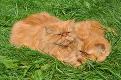 Two of the same red cat Royalty Free Stock Photography