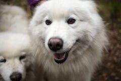 Two samoyed dog Royalty Free Stock Images