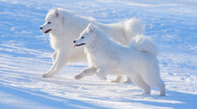 Two Samoyed dogs. Play on blue background Stock Photography