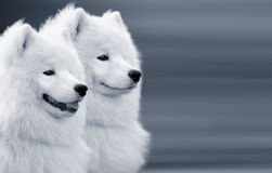 Two samoyed dogs. On grey background Stock Photos
