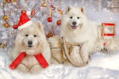 Two Samoyed dogs in Christmas interiors. Portrait of two Samoyed dogs lying on a sled under Christmas tree in Christmas interiors Stock Photography
