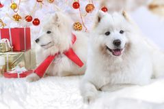 Two Samoyed dogs at Christmas. Two Samoyed dogs lying under Christmas tree in Christmas interiors Royalty Free Stock Images