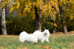 Two Samoyed. Dogs play in the Park Stock Images