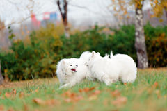 Two Samoyed. Dogs play in the Park Royalty Free Stock Image