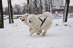 Two Samoyed Dogs Pulling Sled Stock Image