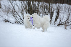 Two Samoyed husky sitting Royalty Free Stock Photos