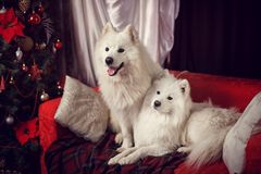 Two Samoyed Laika in a Christmas studio Stock Photography