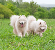 Two samoyed on a meadow. Two samoyed dogs on a meadow Stock Photo