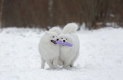 Two Samoyed Royalty Free Stock Images