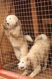 Two Samoyed shepherd puppys barks royalty free stock photography