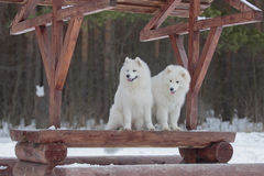 Two Samoyed sitting Stock Photos