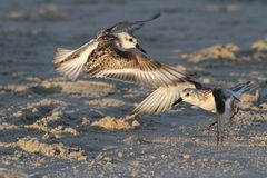 Sanderling Tag. These two sanderlings both wanted to be on the same spot on the beach Stock Image