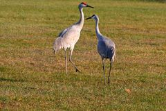 Two sandhill cranes Stock Image