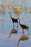 Two Sandhill Cranes. This image shows two sandhill cranes looking for food along the shoreline of a marsh in NW Montana Royalty Free Stock Image