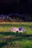 Two Sandhill Cranes Eating. Late in the day Stock Photo