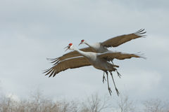 Two Sandhill Cranes in Flight Stock Images