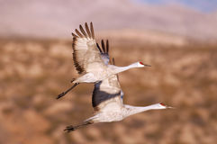 Two sandhill cranes in flight Stock Photo