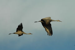 Two Sandhill Cranes In Flight. Two sandhill cranes fly across a light blue sky Royalty Free Stock Photo