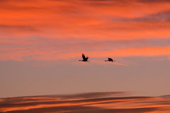Two Sandhill Cranes at Sunrise Royalty Free Stock Photo