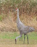 Two Sandhill Cranes. Walk in a meadow filled with prairie grass, gone to seed ironweed and goldenrod. One crane stands guard over the other as it eats bends to royalty free stock images