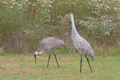 Two Sandhill Cranes. Walk in a meadow filled with prairie grass and gone to seed ironweed and goldenrod. One crane stands upright the other bends to feed on the stock photography