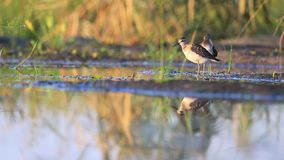 Two sandpipers cleaning feathers. Wood sandpiper stock footage