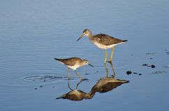 Two Sandpipers in Shallow Water Stock Photo