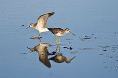 Two Sandpipers in Shallow Water Royalty Free Stock Photography
