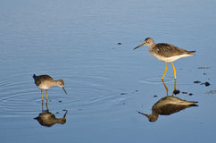 Two Sandpipers in Shallow Water Royalty Free Stock Photos