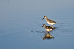 Two Sandpipers in Shallow Water Royalty Free Stock Image