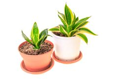 Two sansevieria in pots. Isolated on white background Royalty Free Stock Photo