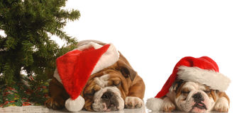 Two santa dogs under tree stock photography