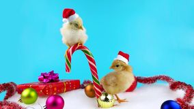 Two Santa helpers, young roosters, symbol of new year 2017. Isolated on blue screen for keying stock footage