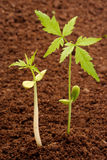 Two saplings-New life Stock Photography