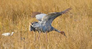 Sarua cran bird. Two sarus crane bird searching food in dray brown grass. the open wings of the big bird seem very beautiful. perhaps looking for food in the royalty free stock photography